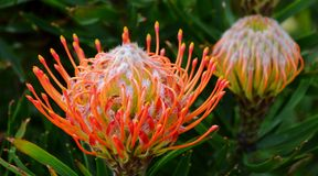 Pincushion protea Royalty Free Stock Photography