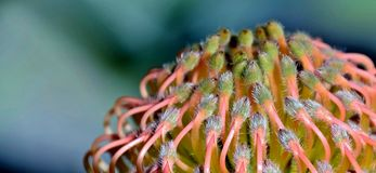 Pincushion protea Stock Photos