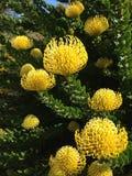 Pincushion Protea. Closeup of beautiful yellow Pincushion Protea shrub taken in in Kirstenbosch gardens in Spring Stock Images
