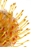 Pincushion Protea Royalty Free Stock Photos