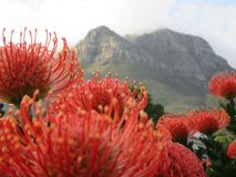 Pincushion Protea Stock Image