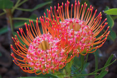 Pincushion Protea Flower. These bright orange and pink Pincushion Protea are indigenous to South Africa Stock Image