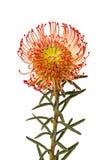 Pincushion Protea Flower. A single red Pincushion Protea Flower Stock Image