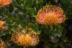 Pincushion protea flowers Royalty Free Stock Photography