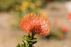 Pincushion Protea Leucospermum cordifolium aka Flame Giant. Royalty Free Stock Image