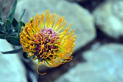 Pincushion Protea, Leucospermum from South Africa. Wallpaper view of a Pincushion Protea, Leucospermum from Kirstenbosch National Botanical Garden, eastern royalty free stock images