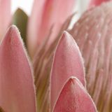 Pincushion protea petals sq Stock Photography