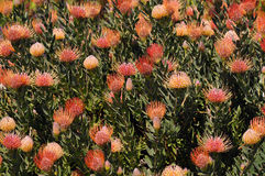 Pincushion Protea Plant Royalty Free Stock Photos