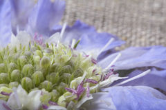 Pincushion Scabiosa λουλούδι Στοκ Φωτογραφίες
