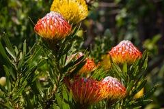 Pincusion (Leucospermum-cordifolium) Stock Foto's