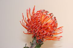 Pincusion Protea flower. A Pincushion Protea flower with delicate red petals Stock Photo