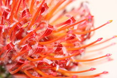 Pincusion Protea flower. A Pincushion Protea flower with small red stamen and petals Royalty Free Stock Photo