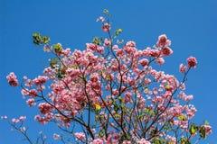 Pinda tecoma, Różowy tubowy drzewo, Różowa cekropia (Tabebuia wzrastał Zdjęcia Stock