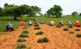 Pinda van de de landbouwers de werkende oogst van groepsazië Stock Afbeeldingen