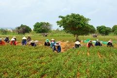Pinda van de de landbouwers de werkende oogst van groepsazië Stock Afbeelding