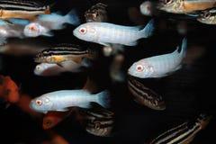 Pindani (Pseudotropheus socolofi albino) aquarium fish Stock Images