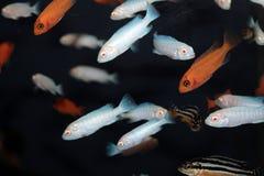 Pindani (Pseudotropheus socolofi albino) aquarium fish Royalty Free Stock Image
