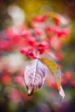 Ыpindle tree leaf on natural autumnal blurred background Royalty Free Stock Photography