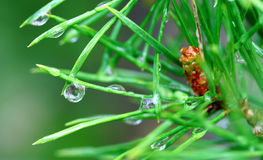 Pine. After a rain Royalty Free Stock Photos