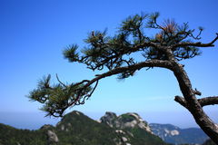 Pine. On the top of Tianzhu mountain Royalty Free Stock Images