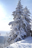 Pine. World of ice and snow Royalty Free Stock Photography