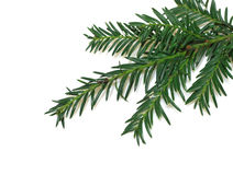 Pine Royalty Free Stock Photo