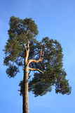 Pine. In wood against the blue sky Stock Photos