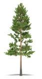 Pine Royalty Free Stock Image