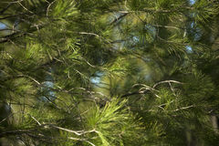 Pine. Fir branch in forest with blue sky Stock Images