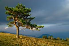 Pine. Bright sunlight on the pine Stock Image