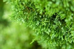 Pine Stock Image