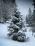 Pine. Under the snow in andalo Stock Photo