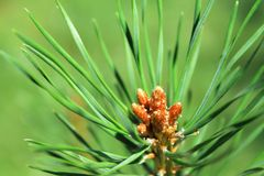 Pine. Branch of the pine tree close-up image Stock Photo