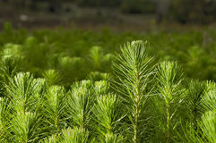 Pine. Radiata pine small plants in the greenhouse Stock Images