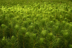 Pine. Radiata pine small plants in the greenhouse Stock Photography