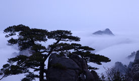 Pine. Huangshan pine and the sea of clouds Stock Photo