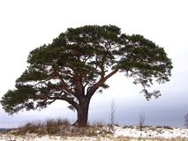 Pine. In Latvia Stock Photography