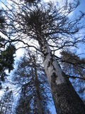 Pine. A lifeless pine in the Bohemian Forest royalty free stock photography
