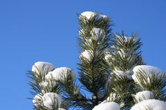 Pine. And snow Royalty Free Stock Photo