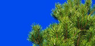 Pine. Big tree with blue background Stock Image