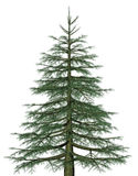 Pine. A picture of an isolated  fir tree Stock Photo