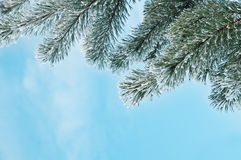 Pine Stock Photography
