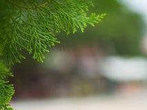 Pine1 Arkivfoto