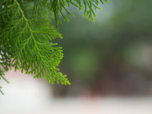 Pine3 Стоковая Фотография RF
