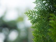 Pine5 Arkivfoto