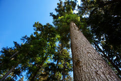 Pine against the blue sky Royalty Free Stock Photo