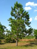 Pine against the sky Royalty Free Stock Image