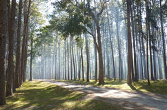 Pine Agroforestry. Boa Keaw Silvicultural Research Station. Chiangmai,Thailand Stock Photography