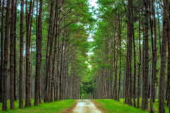 Pine Agroforestry Royalty Free Stock Images