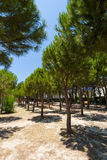 Pine Alley. Royalty Free Stock Photography
